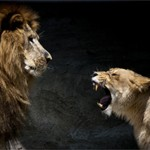 lions_snarling_tomconger-flickr
